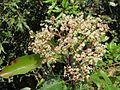 Photinia integrifolia at Mannavan Shola, Anamudi Shola National Park, Kerala (16).jpg