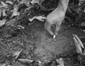 Photograph of Correct Way to Dispose of a Cigarette Butt in the Woods - NARA - 2128277.tif