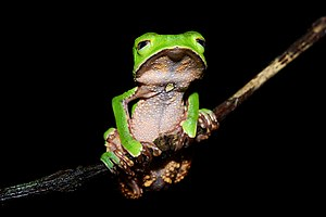 A White-lined leaf frog (Phyllomedusa vaillant...