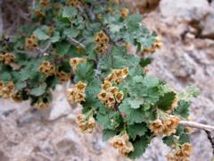 240px physocarpus alternans