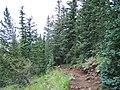 Picea engelmannii Pinus aristata2.jpg