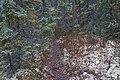 Picea glauca forest, Cameron River, near Yellowknife, Canada 2.jpg