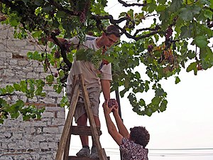 Albanian wine - Picking grapes in Berat