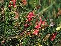 PikiWiki Israel 13375 Flower burnet.JPG