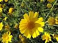 PikiWiki Israel 2166 Spring in Israel חרצית באביב ישראלי - 2009.jpg