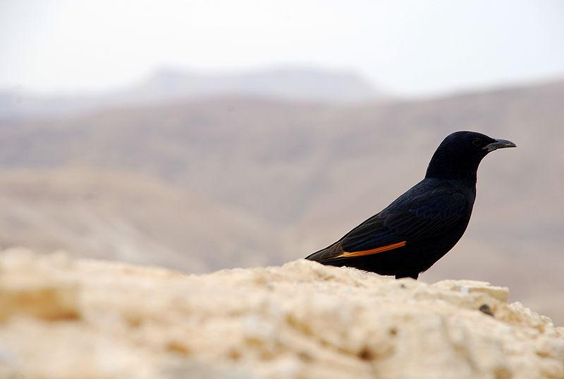 ציפור במדבר יהודה