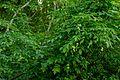 Pimpernussbaum 2265.jpg