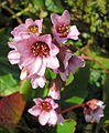 Pink Purple Flower (3380154862).jpg