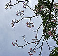 Pink Trumpet Tree (Tabebuia impetiginosa) flowering tree in Hyderabad, AP W 299.jpg