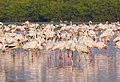 Pink visitors - Flamingos in Mumbai.jpg