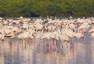 Bhandup - Image: Pink visitors Flamingos in Mumbai