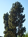 Pins canaris de les Teresianes P1510511.jpg