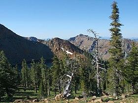 Pinus balfouriana Middle Peak 01.jpg