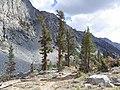 Pinus balfouriana austrina 5.jpg
