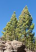 conifers - Photo (c) H. Zell, some rights reserved (CC BY-SA)