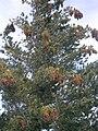 Pinus lambertiana Palm Springs.jpg