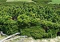 Pinus mugo Bucegi.jpg