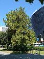 Pinus roxburghii de la Diagonal P1260796.jpg