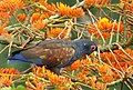 Pionus chalcopterus (Cotorra maicera) - Flickr - Alejandro Bayer (9).jpg