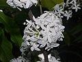 Plant Pleiocarpa mutica P1110562 03.jpg