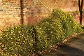 Plant and brick wall at Gilesmead apartments, Downside, Epsom.jpg