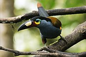 Plate-billed mountain toucan (Andigena laminirostris).jpg