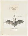 Plecotus auritus - 1700-1880 - Print - Iconographia Zoologica - Special Collections University of Amsterdam - UBA01 IZ20800121.tif