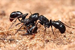 Plectroctena sp ants.jpg