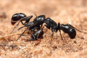 English: Two Plectroctena sp. ants, either P. ...