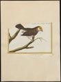 Ploceus bengalensis - 1700-1880 - Print - Iconographia Zoologica - Special Collections University of Amsterdam - UBA01 IZ15900049.tif