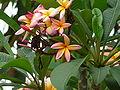 Plumeria alba 0005.jpg