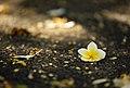 Plumeria alba flower, Bangalore.jpg
