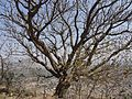 Plumeria rubra (4399871497).jpg
