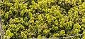 Podocarpus nivalis in Rangipo Desert 02.jpg