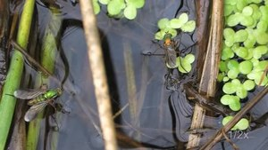 File:Poecilobothrus nobilitatus - nuptial behaviour.ogv