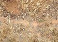Pogonomyrmex barbatus - Red Harvester Ants. trails - 2.jpg
