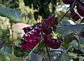 Pois rouge du Jardin Insolite.jpg