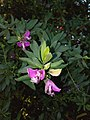 Polygala myrtifolia - Μυρτόφυλλο πολύγαλα.jpg