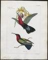 Polytmus jugularis - 1820-1860 - Print - Iconographia Zoologica - Special Collections University of Amsterdam - UBA01 IZ19100133.tif