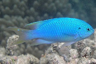 Pomacentrinae subfamily of fishes