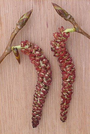 Populus - Male catkins of ''Populus'' × ''canadensis''