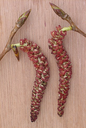 Populus - Male catkins of Populus × canadensis