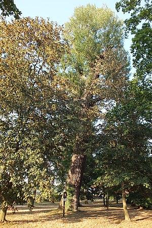 Populus nigra in Velká Bystřice 2c.jpg