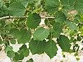 Populus tremula Topola osika 2020-07-02 02.jpg