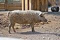 Porc laineux (Zoo Amiens).JPG
