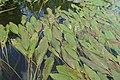 Potamogeton nodosus kz02.jpg