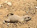 Prairie Dog (19012837484).jpg