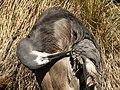 Preening Heron (6271334227).jpg