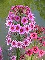 Primula japonica 03.jpg
