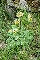Primula veris in Aveyron (1).jpg